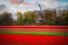 Campo com tulipas vermelhas Imagens de Stock