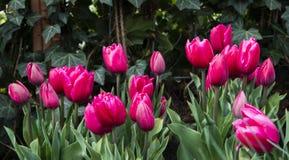 Campo com tulipas vermelhas Imagens de Stock Royalty Free