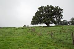 Campo com um carvalho Foto de Stock