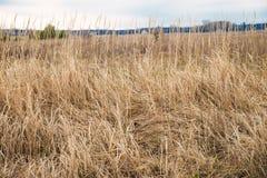 Campo com uma grama seca fotografia de stock royalty free