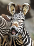 Campo común o cebra Kenia, África de los burchells Imágenes de archivo libres de regalías