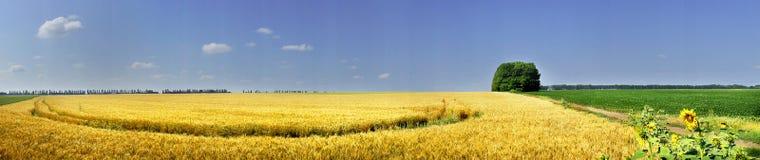 Campo completamente da semente dourada do trigo. Imagem de Stock