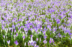 Campo completamente do croci Foto de Stock