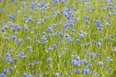Campo completamente dos cornflowers Imagem de Stock