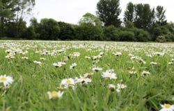 Campo completamente dos daisys fotografia de stock royalty free