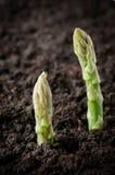 Campo con asparago Immagini Stock Libere da Diritti