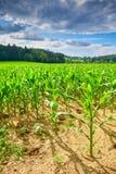 Campo con cereale Fotografie Stock Libere da Diritti