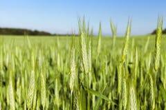 Campo con cereale Fotografia Stock