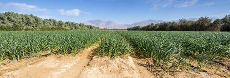 Campo con cereale di maturazione nel deserto di Negev Immagine Stock Libera da Diritti