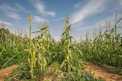 Campo con cereale di maturazione nel deserto di Negev Fotografia Stock