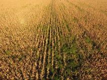 Campo con cereale maturo Gambi asciutti di cereale Vista del campo di mais da sopra La piantagione del cereale, pannocchie mature Fotografia Stock Libera da Diritti