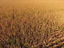 Campo con cereale maturo Gambi asciutti di cereale Vista del campo di mais da sopra La piantagione del cereale, pannocchie mature Immagine Stock