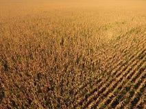 Campo con cereale maturo Gambi asciutti di cereale Vista del campo di mais da sopra La piantagione del cereale, pannocchie mature Fotografie Stock