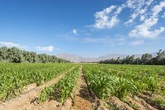 Campo con cereale nel deserto di Negev Fotografia Stock Libera da Diritti