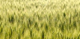 Campo con cereale verde acerbo Fotografia Stock
