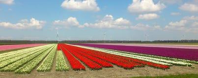 Campo con colores multi, Zeewolde del tulipán imagen de archivo libre de regalías