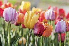 Campo con dei i tulipani colorati multi Fotografia Stock Libera da Diritti