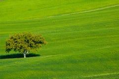 Campo con di olivo Fotografia Stock Libera da Diritti