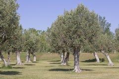 Campo con di olivo (olea europaea) Fotografia Stock