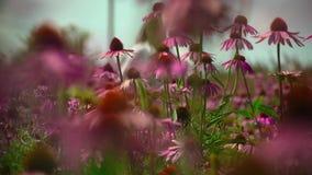 Campo con el Echinacea de las flores almacen de metraje de vídeo