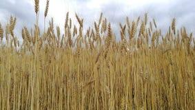 Campo con el grano Foto de archivo libre de regalías