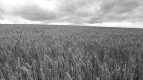 Campo con el grano Foto de archivo