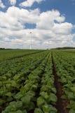 Campo con el tabaco verde joven Foto de archivo libre de regalías