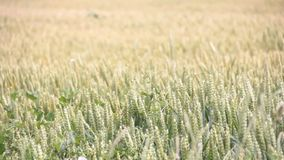 Campo con estate del grano all'aperto stock footage