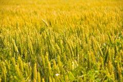 campo con estate del raccolto del grano Fotografie Stock