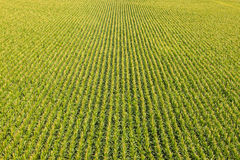Campo con filas de las plantas de maíz Imágenes de archivo libres de regalías