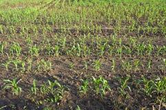 Campo con giovane cereale Immagine Stock Libera da Diritti