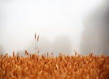 Campo con grano dorato Fotografie Stock Libere da Diritti