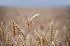 Campo con grano dorato Fotografia Stock