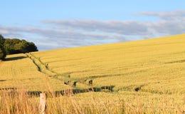 Campo con grano a luglio Fotografie Stock