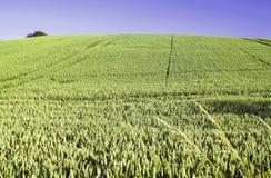 Campo con grano a luglio Immagini Stock Libere da Diritti