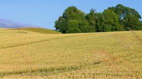 Campo con grano a luglio Fotografia Stock