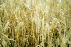 Campo con grano maturo Raccolto di grano Immagine Stock