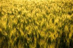 Campo con grano non maturo al tramonto Fotografie Stock