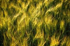 Campo con grano non maturo, primo piano delle punte Immagini Stock Libere da Diritti