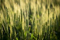 Campo con grano non maturo verde, primo piano Fotografia Stock