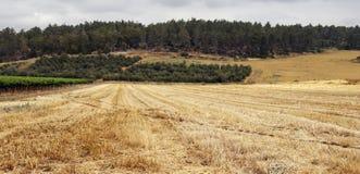 Campo con grano raccolto Fotografia Stock