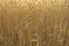 Campo con grano tenero Fotografia Stock Libera da Diritti
