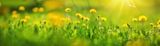 Campo con i denti di leone Primo piano dei fiori gialli della molla immagini stock
