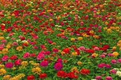 Campo con i fiori Fotografia Stock Libera da Diritti