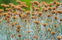 Campo con i fiori secchi del santolina Immagini Stock Libere da Diritti