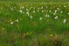 Campo con i fiori selvaggi del narciso Immagine Stock Libera da Diritti