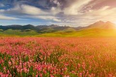 Campo con i fiori in valle della montagna Paesaggio di estate durante il tramonto Fotografia Stock