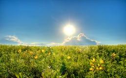 Campo con i gigli gialli Fotografia Stock