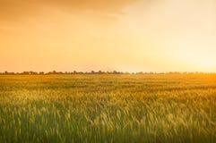 Campo con i raccolti del cereale Immagine Stock Libera da Diritti