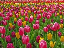 Campo con i tulipani Immagini Stock Libere da Diritti